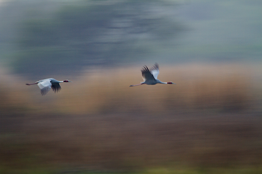 The sarus crane (Grus antigone) flying across