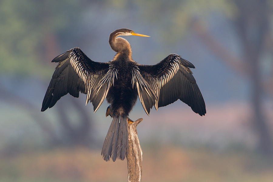 The Oriental darter or Indian darter (Anhinga melanogaster)