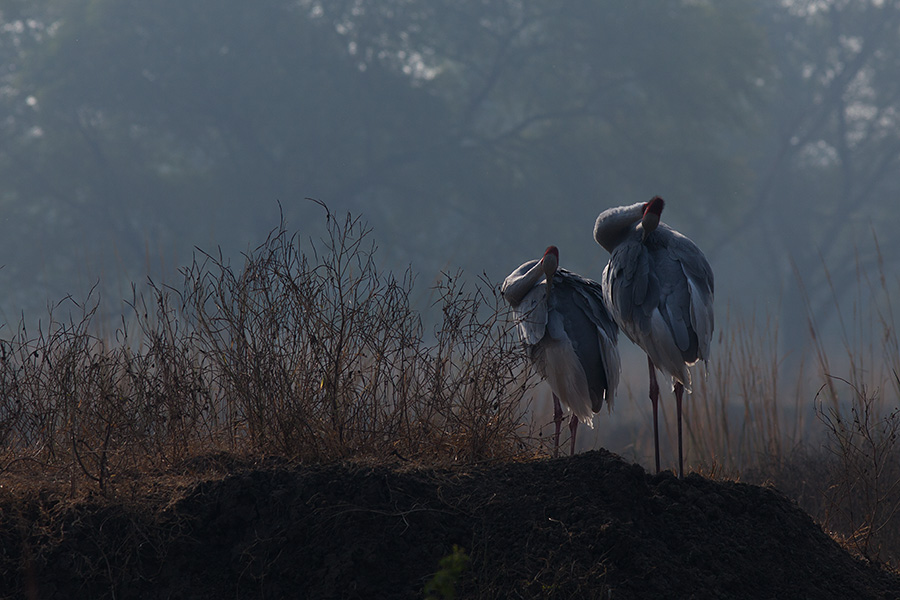 The sarus crane (Grus antigone) pair