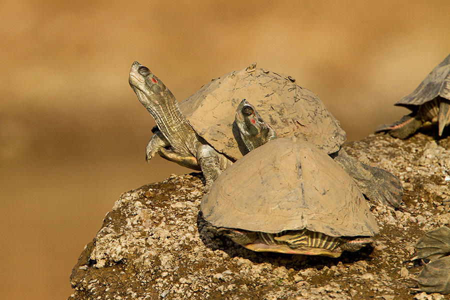 Indian Red-Crowned Roof Turtle (Batagur kachuga)