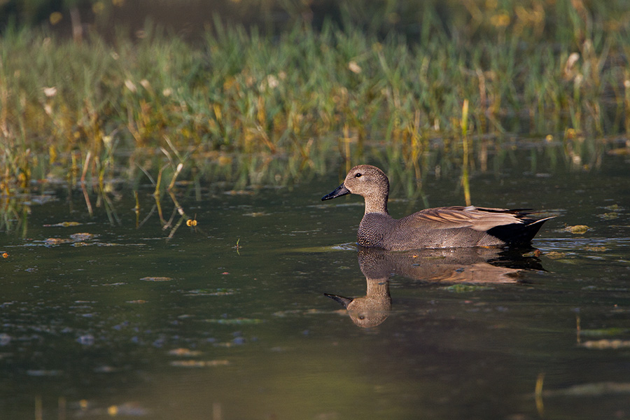 The gadwall (Anas strepera)