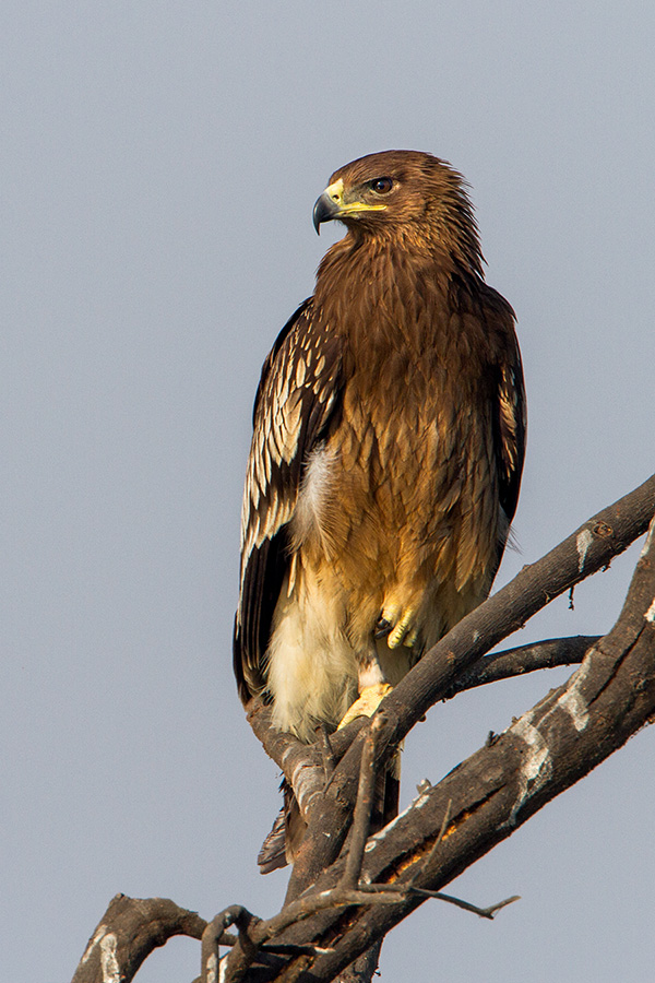 The greater spotted eagle (Acquila clanga)