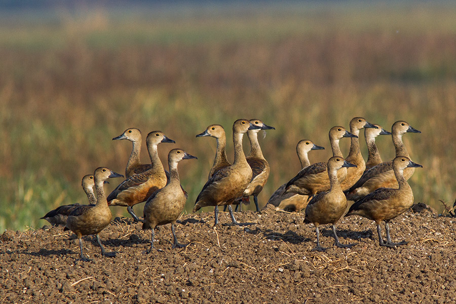 The lesser whistling duck (Dendrocygna javanica)