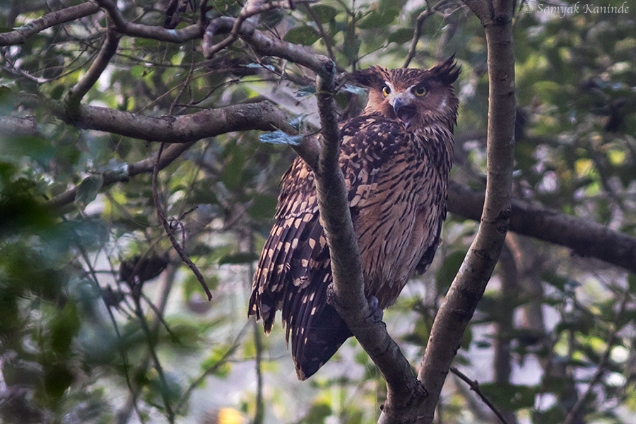The tawny fish owl (Bubo flavipes)