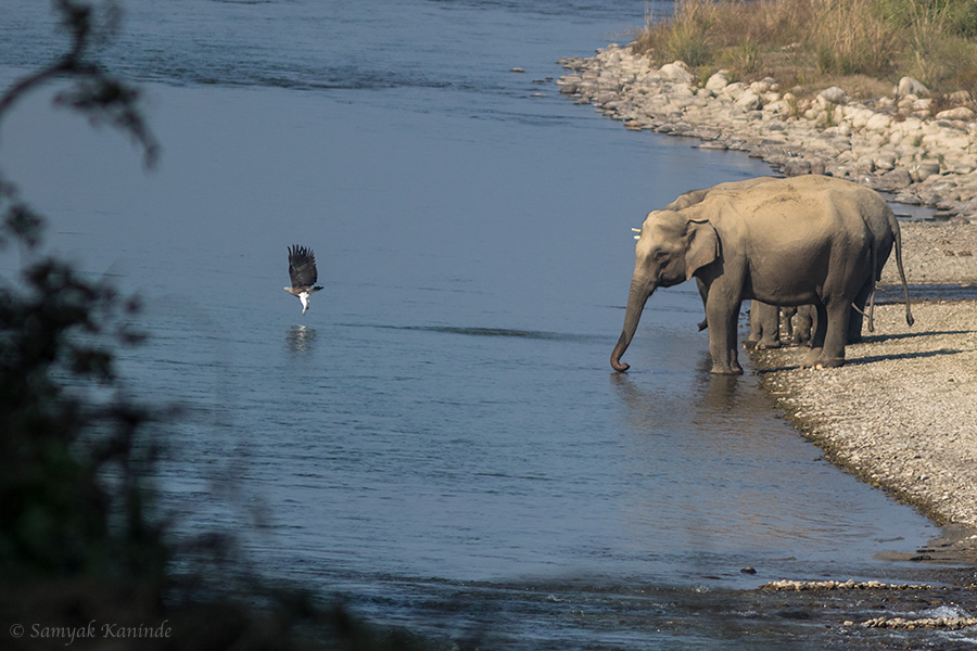 The Asiatic elephant (Elephas maximus) and The grey-headed fish eagle (Ichthyophaga ichthyaetus)