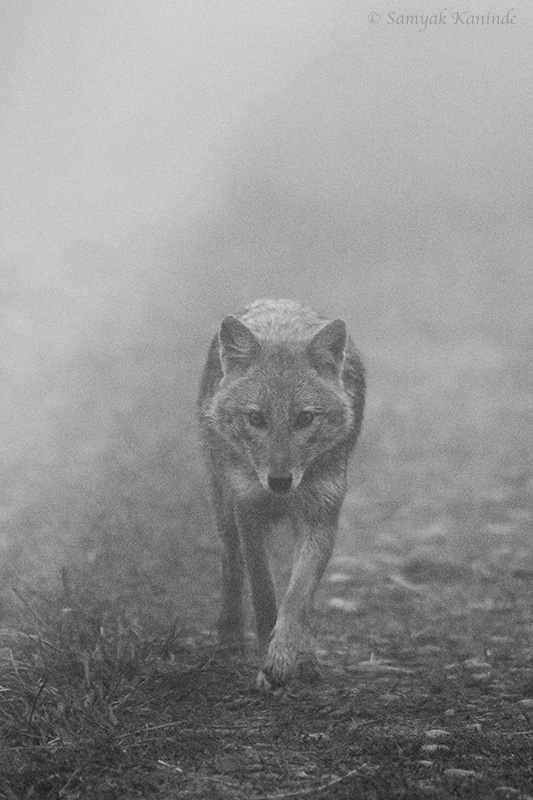 The golden jackal (Canis aureus) in mist