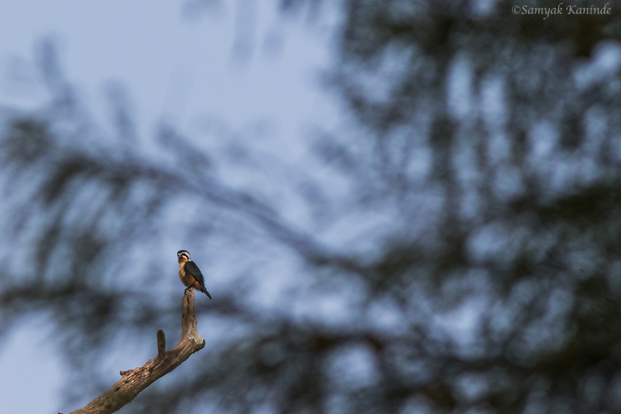 The collared falconet (Microhierax caerulescens)
