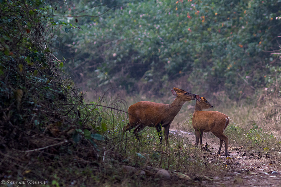 The Indian muntjac (Muntiacus muntjak) aka Barking Deer Courtship