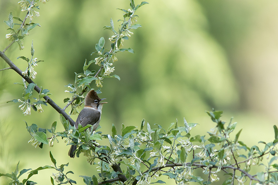 The whiskered yuhina (Yuhina flavicollis)