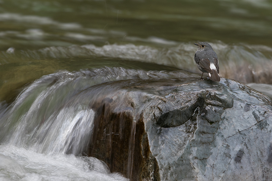The plumbeous water redstart (Rhyacornis fuliginosa)