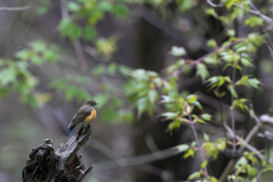 Orange-flanked Bush Robin (Tarsiger cyanurus pallidior)