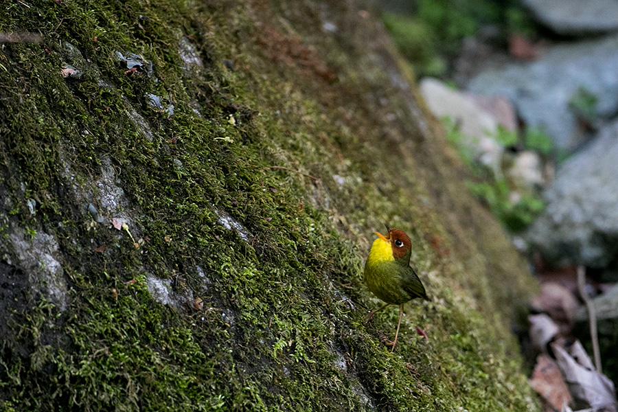 The chestnut-headed tesia (Cettia castaneocoronata)