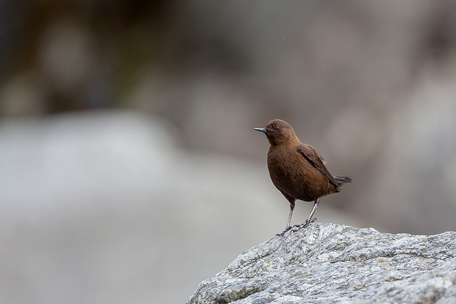 The brown dipper (Cinclus pallasii)