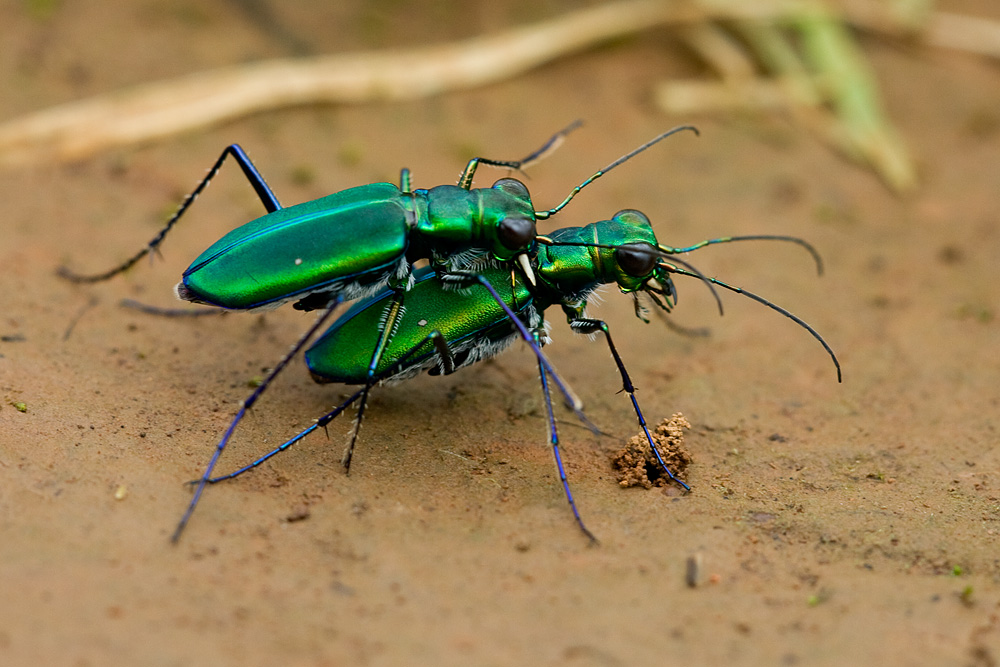 tiger beetles kaas