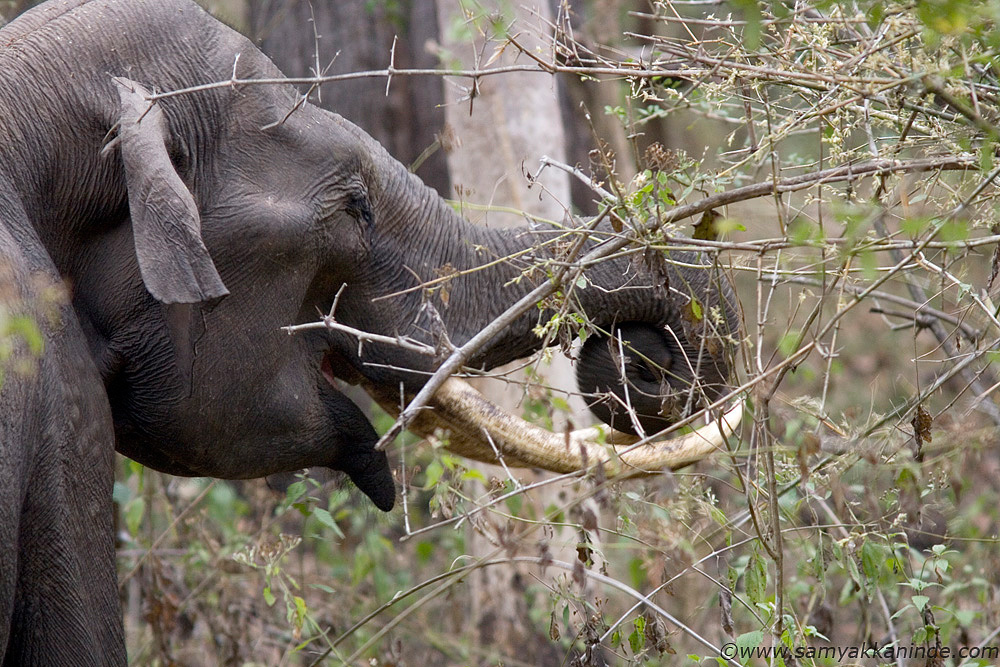 tusker eating bamboo