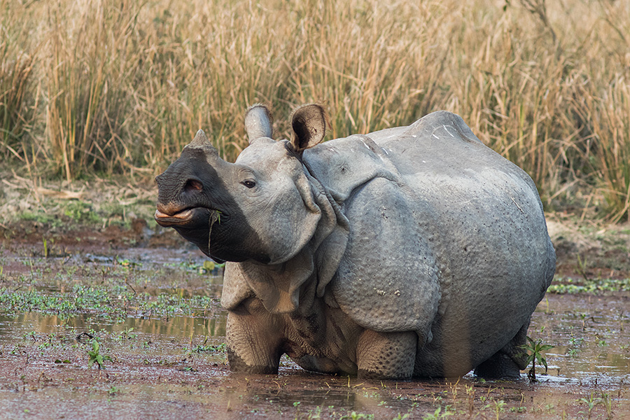 The Indian rhinoceros (Rhinoceros unicornis) (greater one-horned rhinoceros)