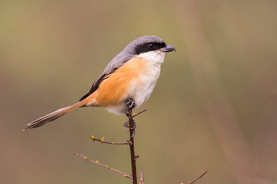 The grey-backed shrike (Lanius tephronotus)