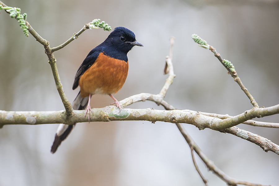 The white-rumped shama (Copsychus malabaricus)
