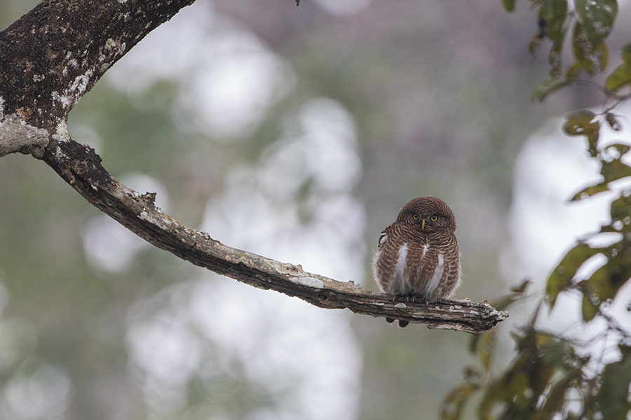 The Asian barred owlet (Glaucidium cuculoides)