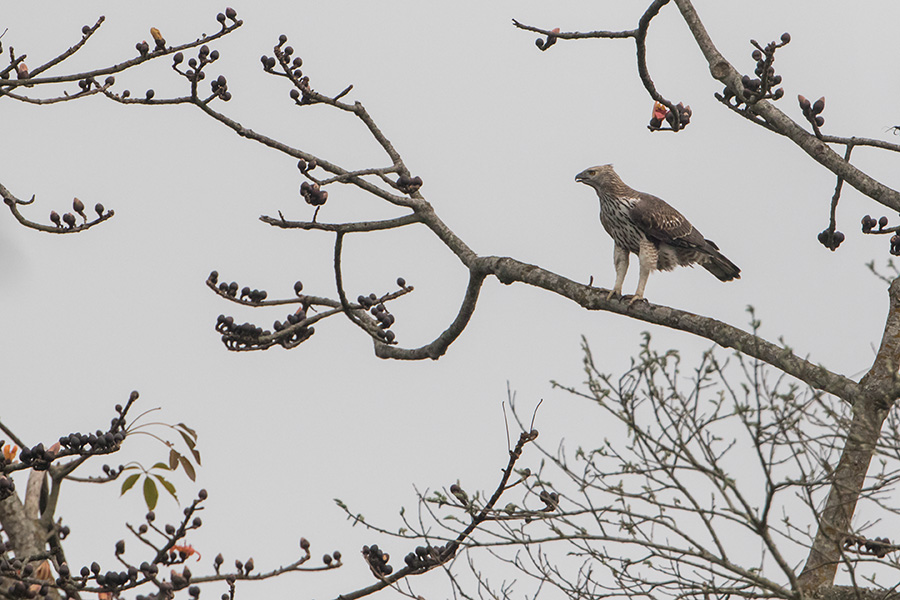 The changeable hawk-eagle or crested hawk-eagle (Nisaetus cirrhatus)