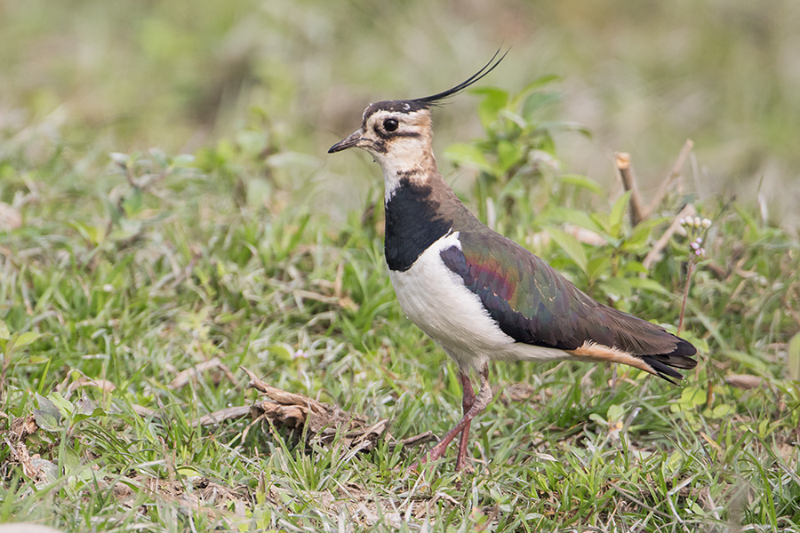 The northern lapwing (Vanellus vanellus) male