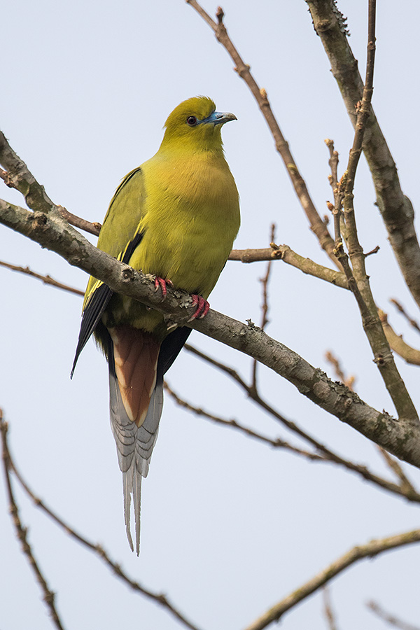 The pin-tailed green pigeon (Treron apicauda)