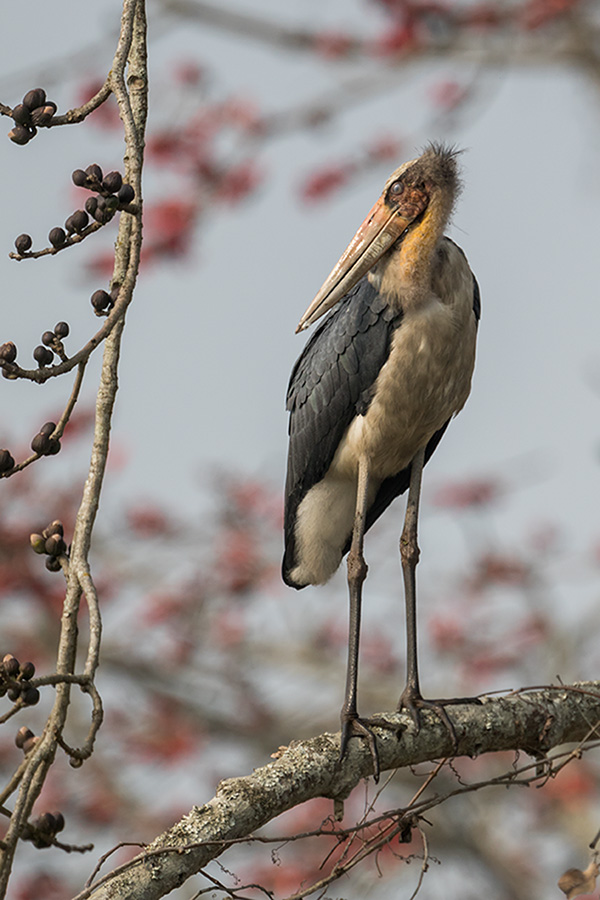 The lesser adjutant (Leptoptilos javanicus)
