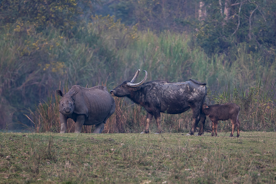 The wild water buffalo (Bubalus arnee) with Rhino