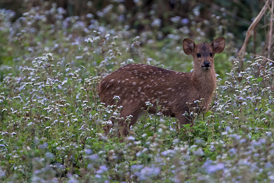 The Indian hog deer (Hyelaphus porcinus) calf