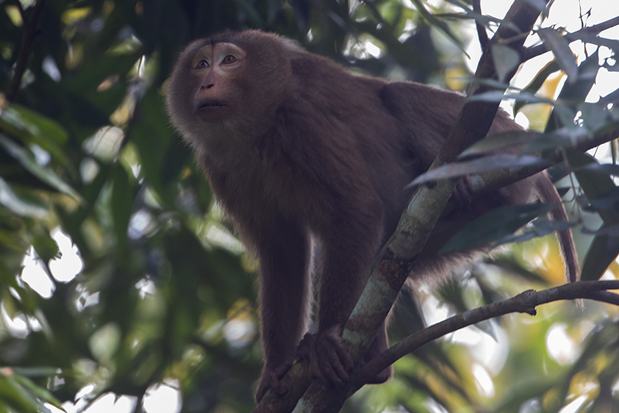 The northern pig-tailed macaque (Macaca leonina)