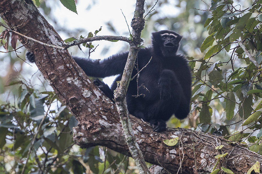 The western hoolock gibbon (Hoolock hoolock)