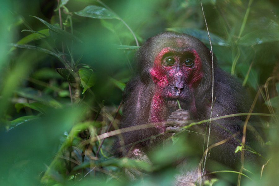 The stump-tailed macaque (Macaca arctoides)