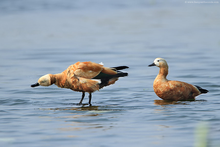 The ruddy shelduck (Tadorna ferruginea)