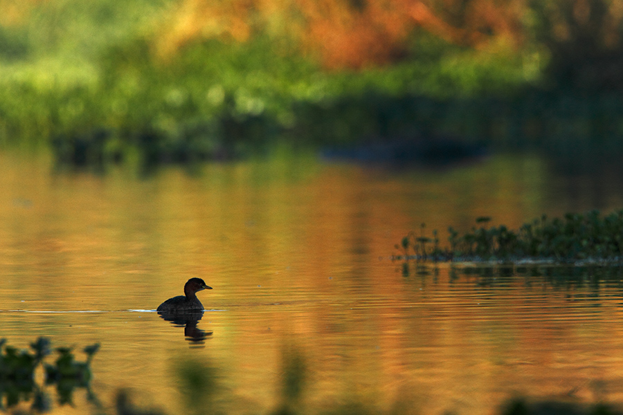 The little grebe (Tachybaptus ruficollis),