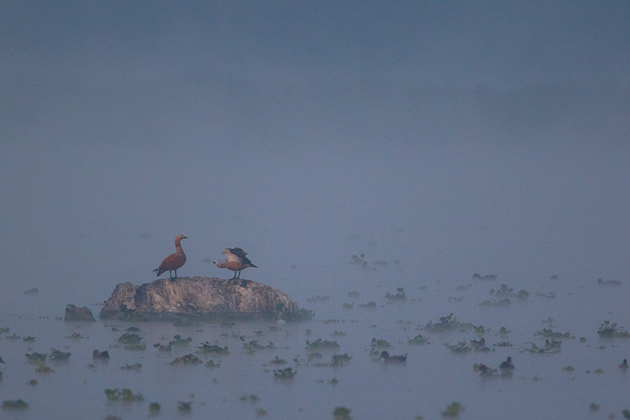 The ruddy shelduck (Tadorna ferruginea) in misty morning