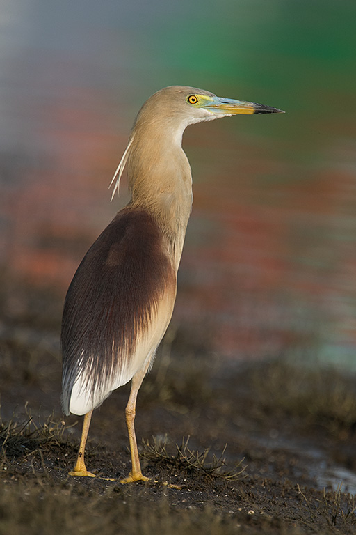The Indian pond heron (Ardeola grayii)