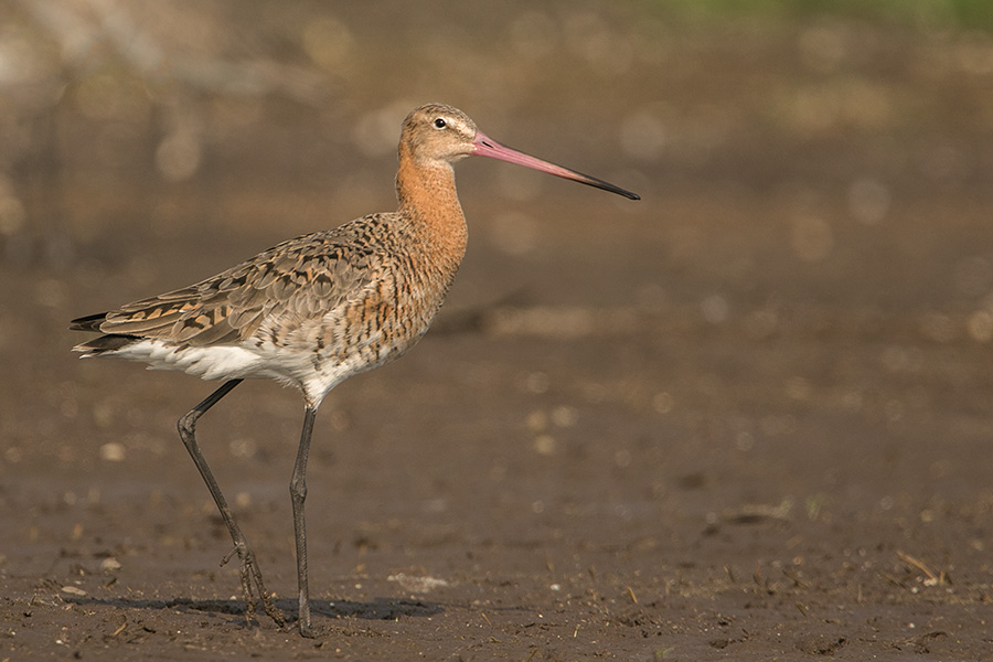The black-tailed godwit (Limosa limosa)