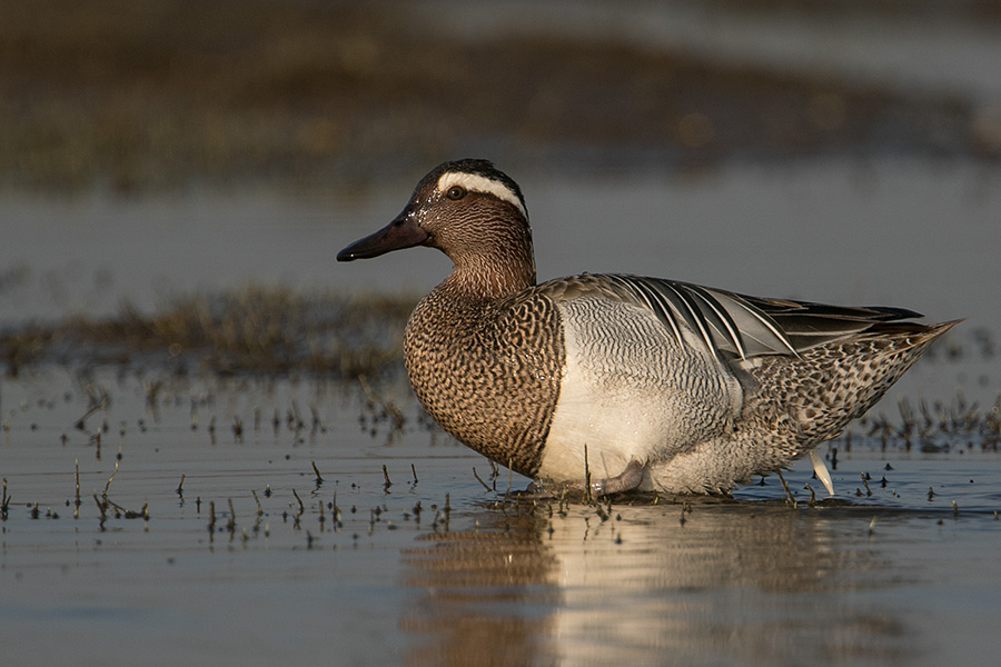 The garganey (Anas querquedula)