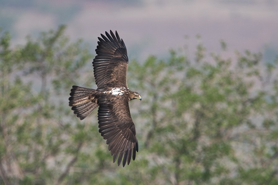 The Bonelli's eagle (Aquila fasciata)