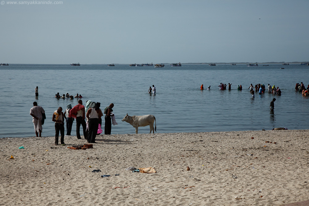 The cows are integral part of hindu's religious rituals performed near the seashore in Rameswaram.