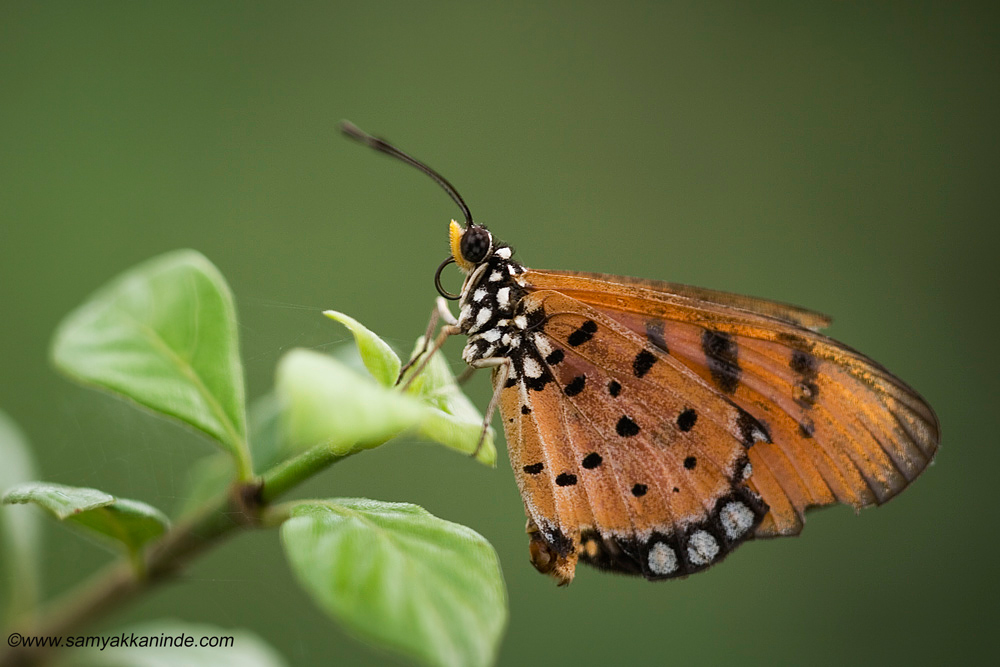 The Tawny Coster (Acraea terpsicore).