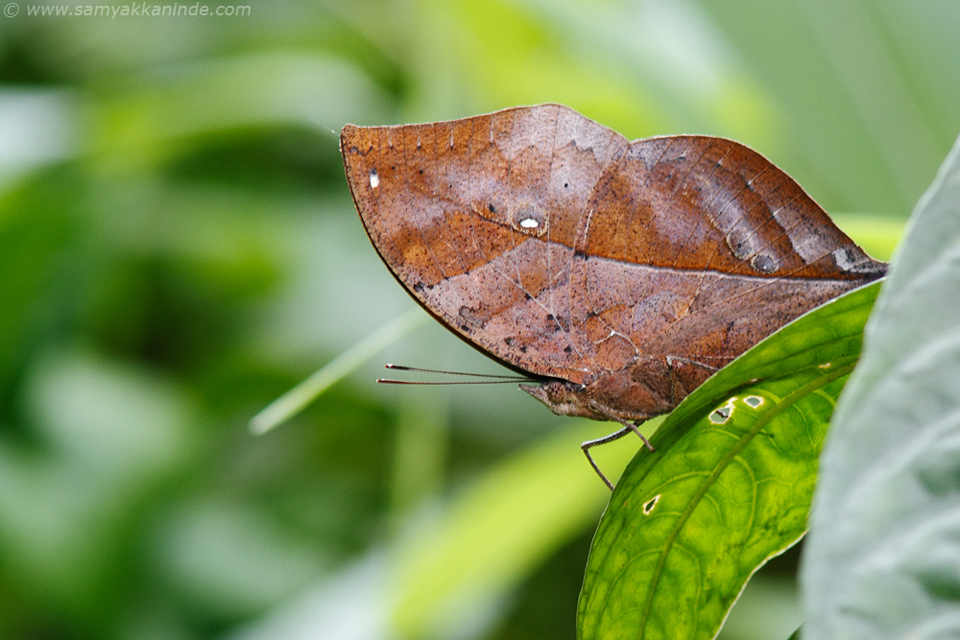 Himalayan Orange Oakleaf Butterfly (Kallima inachus inachus)