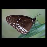 Indian Common Crow (Euploea core core) butterfly