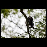 Lion Tailed Macaque fine art prints india