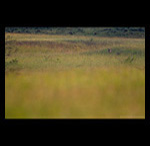 Indian Wolf in Grasslands fine art prints india