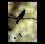Racket Tailed Drongo calling fine art prints india