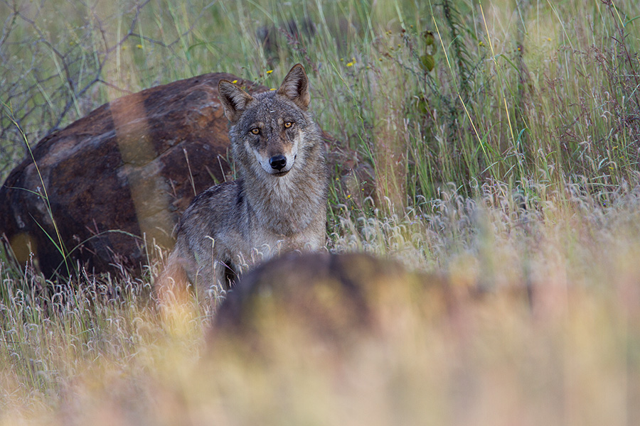 The Indian wolf (Canis lupus pallipes)