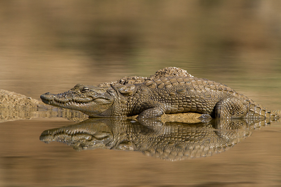 The mugger crocodile (Crocodylus palustris)