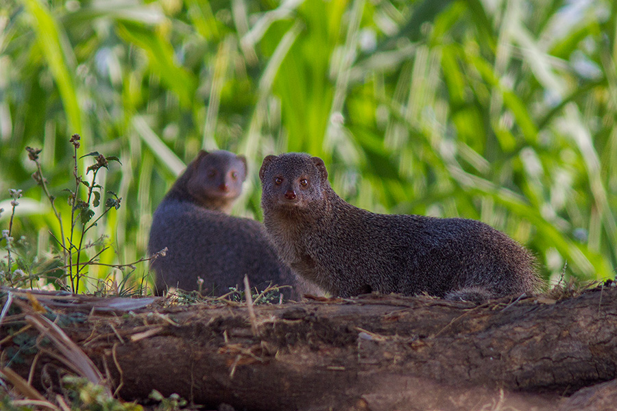 The Indian grey mongoose or common grey mongoose (Herpestes edwardsii)