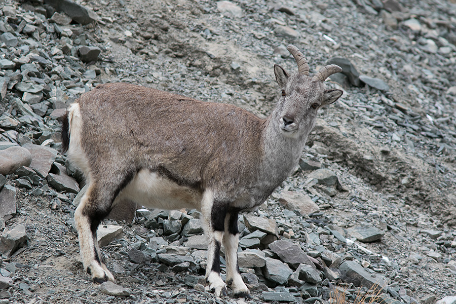 The bharal or Himalayan blue sheep herd (Pseudois nayaur)